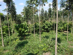 Young Mahogany and cacao mixed species stand