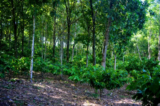 Hardwood trees with cacao understory - izabalagroforest.com