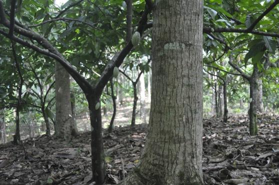 Mahogany & cacaogrove on my farm, Izabal Agro-Forest