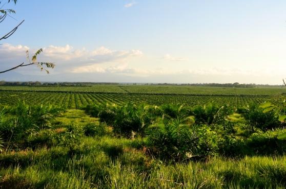 Palm monoculture