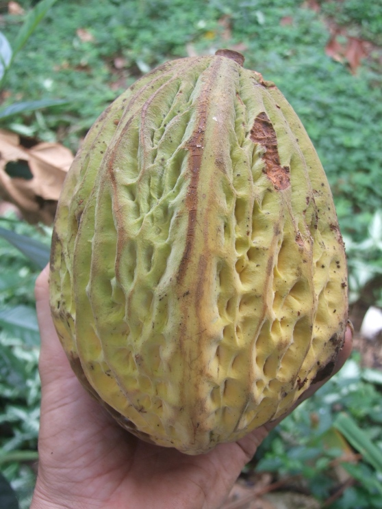 Pataxte (theobroma bicolor) pod